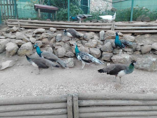 Pavões azul e asa negra