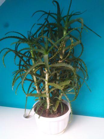 Aloes duże i małe