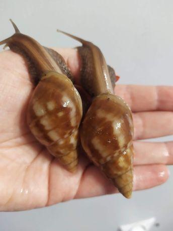 Ślimak afrykański, achatina, Lissachatina fulica Madagaskar caramel