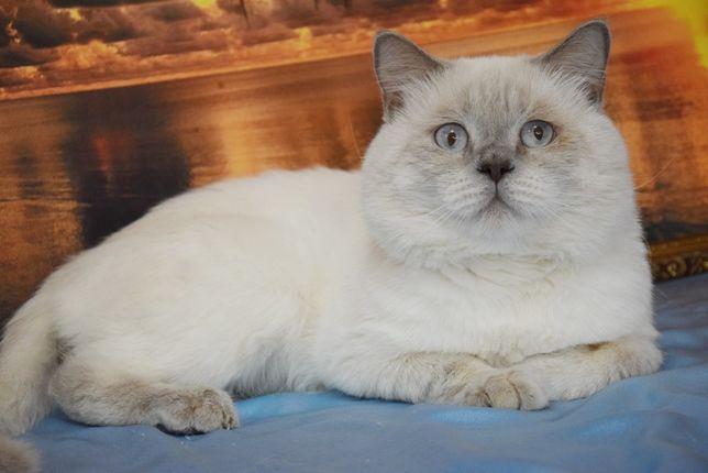 Шотланадский клубный кот