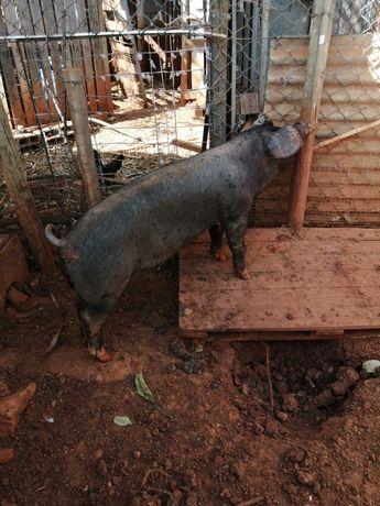 Porco preto de carne castrado