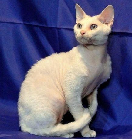 Вязка. Белоснежный кот Девон рекс дает крупных белых и цветных котят.