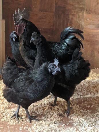 Інкубаційни яйця, кури, півні.