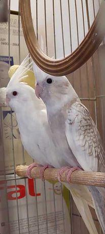 Papugi nimfy tegoroczne białogłowe i albinosy