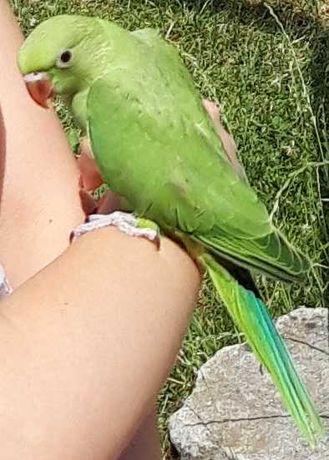 Papuga oswojona przygotowywana do nauki mówienia