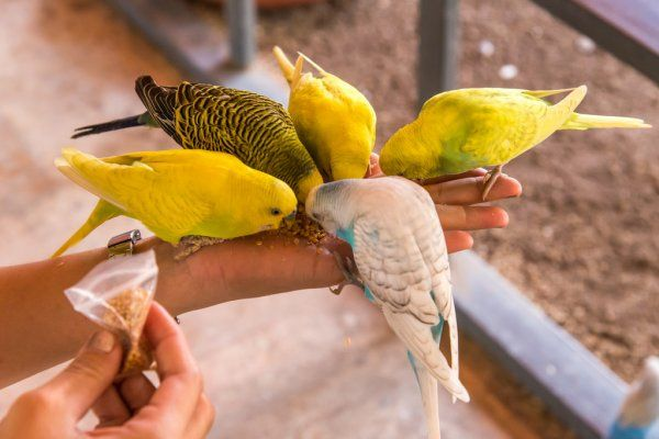 волнистые попугаи
