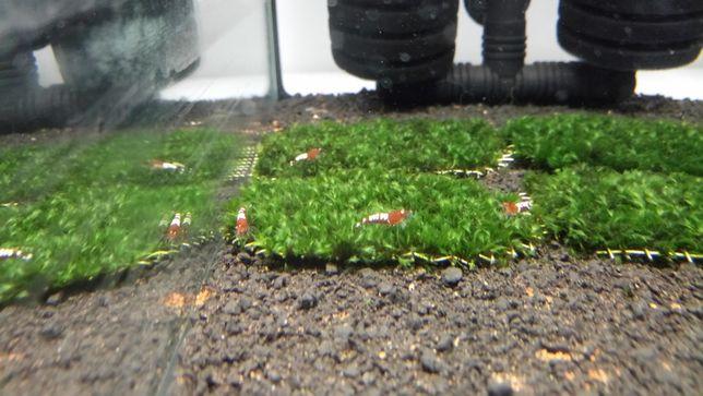 Fissidens miroshaki Moss mech, ryba, ryby, rośliny Waterworld Krosno