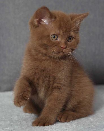"""Kot brytyjski krótkowłosy ,,KLABAX"""""""