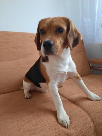 Beagle tri color z rodowodem