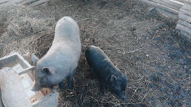 Розпродаж в'єтнамських свиней