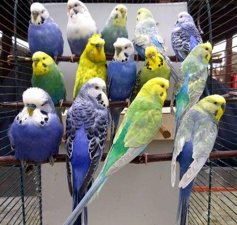 Радужные волнистые попугайчики птенчики для разговора