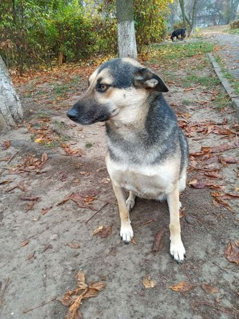 Собаку в добрые руки (сучка), стерилизованная, 4 года