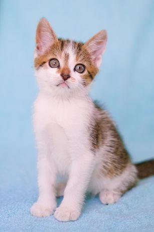 Котенок девочка Люси 2 мес