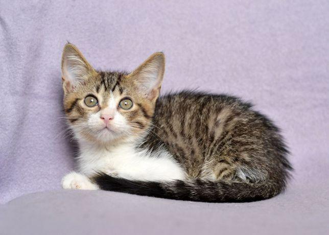 Ласковый полосатый с белым котенок Скай ищет дом (3 мес.)