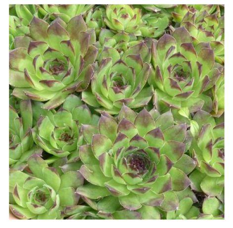 Sukulenty ogrodowe sadzonki planty eonium (Aeonium)