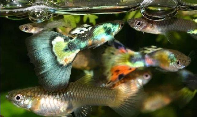 Рибки гуппі опт від 50