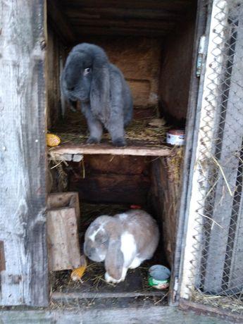 Piękne króliki-Wszystkie rasy - Duży wybór!!