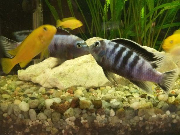 Pyszczaki Saulosi. Ryby akwariowe. Rybki pyszczaki.2 cm.