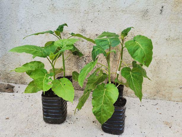 Tamarilho - planta