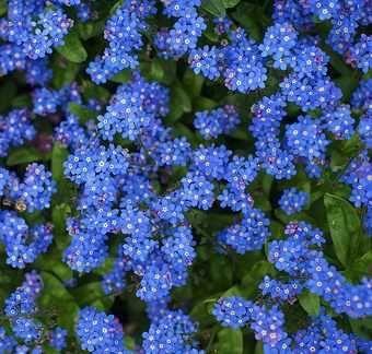 sadzonka Niezapominajka Alpejska Niebieska p10