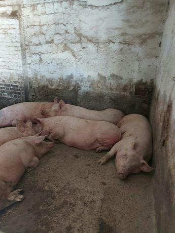 Продам свиней живым весом 40 гр