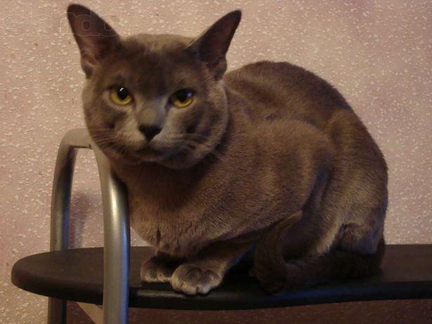 Вязка. Клубный кот Бурма короткошерстная (BUR a). BURMESE CACIB