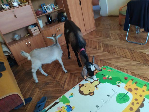 Kozioł i koza AN