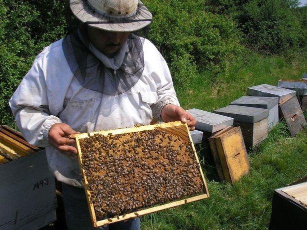 Матки Карпатки Малоройливая пчела Карпатка