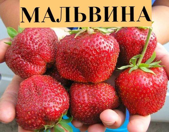 Саженцы шелковицы, грецкий орех, жимолость, крыжовник, ежевика, малина