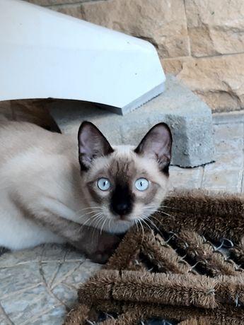 Siamês de olhos azuis muito meigo p/adoção.