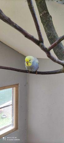 Papugi faliste samce