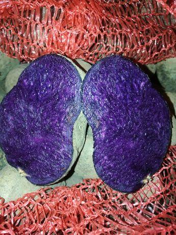 Кольорова картопля, Солоха, Хортиця