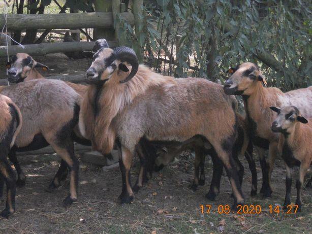 Owce kameruńskie : jagnięta i jagnięcina .