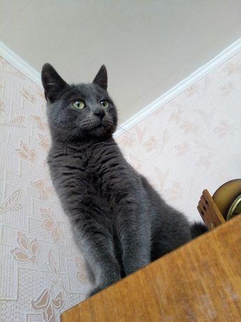 """Плюшик , котик 6 місяців """"російська блакитна"""""""
