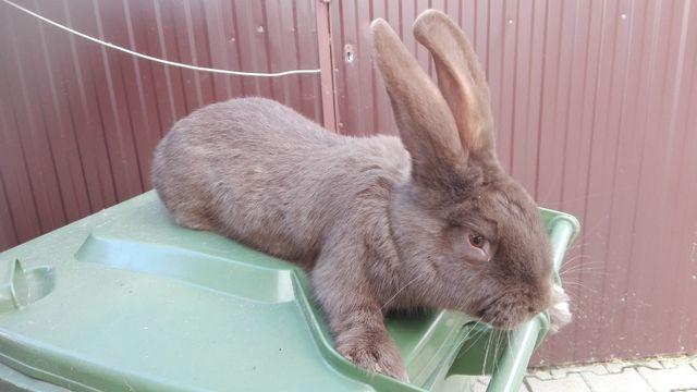 OSH Olbrzym Srokacz Hawana młode króliki - samce