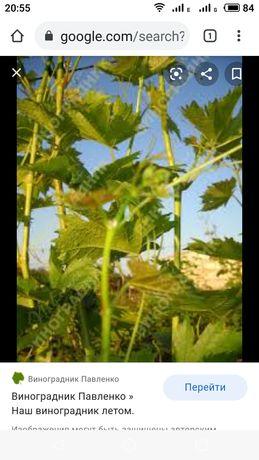 Саженцы винограда, подвоя.