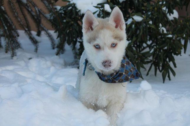 Siberian husky-piesek