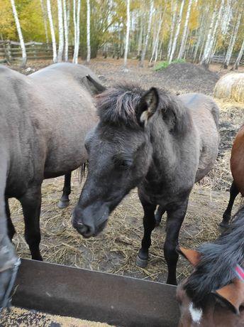 Konie rasa huculska