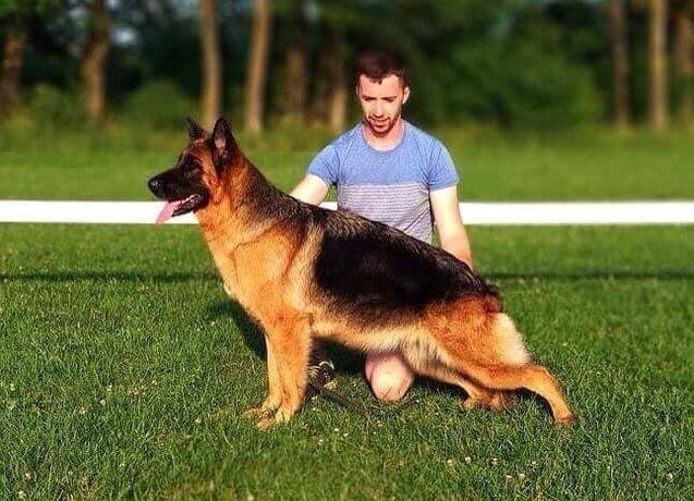 Продаються цуценята німецького походження ( батько поліцейський пес )