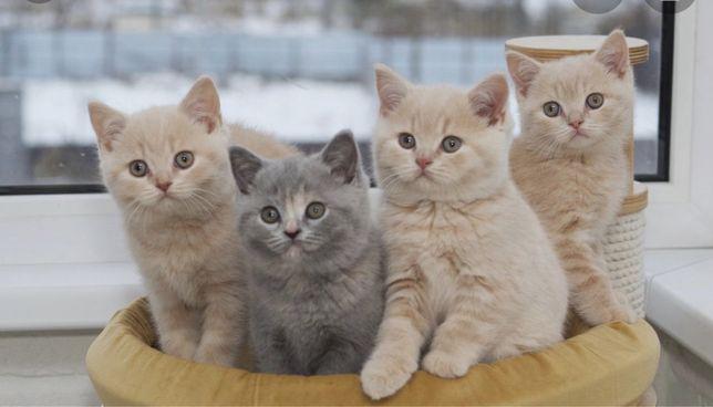 Британськие котята.