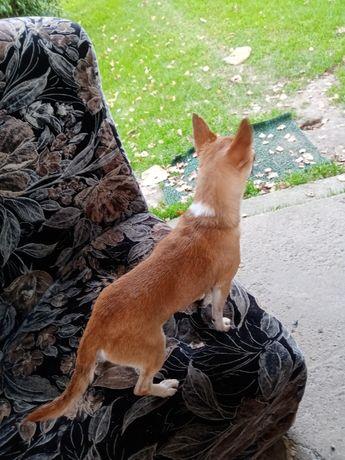 Chihuahua -piesek REPR