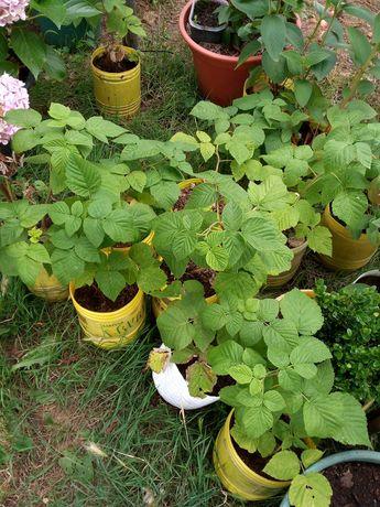 Framboesas plantas