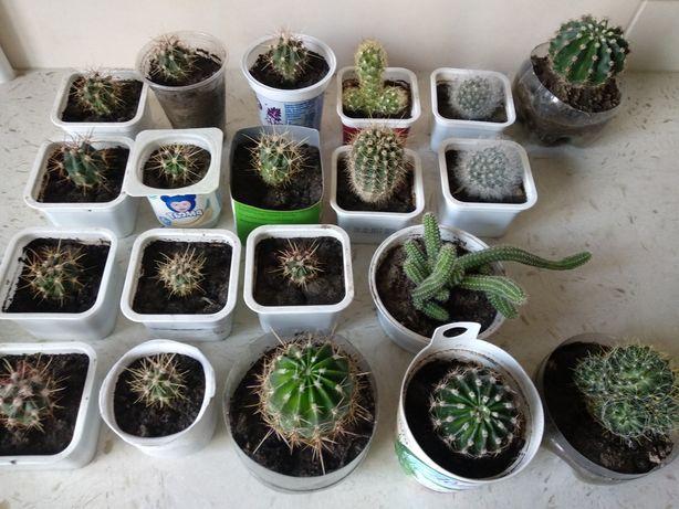 Набор из 5 кактусов