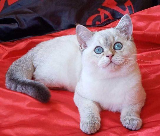 Шотландский котенок золотой колор поинт шиншила