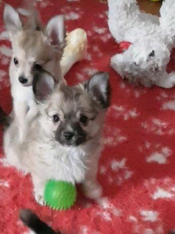 Chihuahua piesek FCI