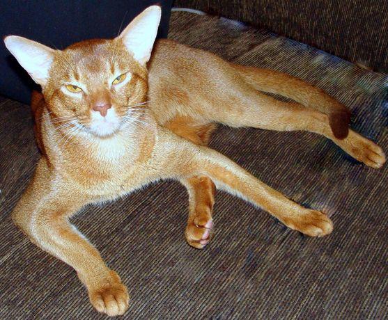 вязка кот абиссинский чемпион WCF