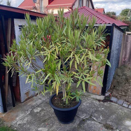 Oleander na pniu. 180 cm