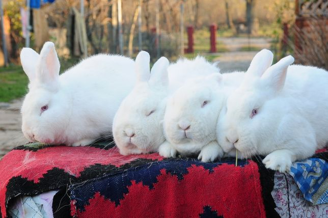 продам кролі новозеланець білий