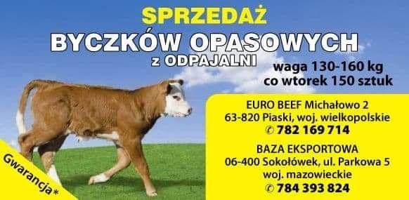 JAŁÓWKI cielaki byczki zdrowe DOBRA RASA