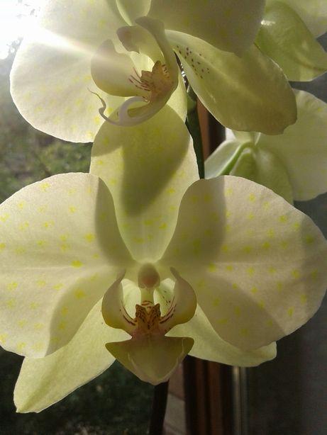 Орхидея фаленопсис салатовая желтая